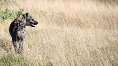 Éditorial essais de l'été : La France contre les hyènes